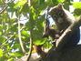 Coati Mundi in the tree